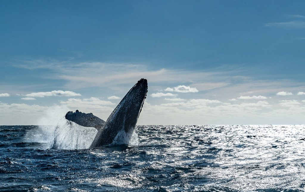 A large whale is emerging from the surface of the water. Beautiful marine life is a reason why you should go on a whale watching tour in Cabo San Lucas. One of the best things to do in Cabo is whalewatching.